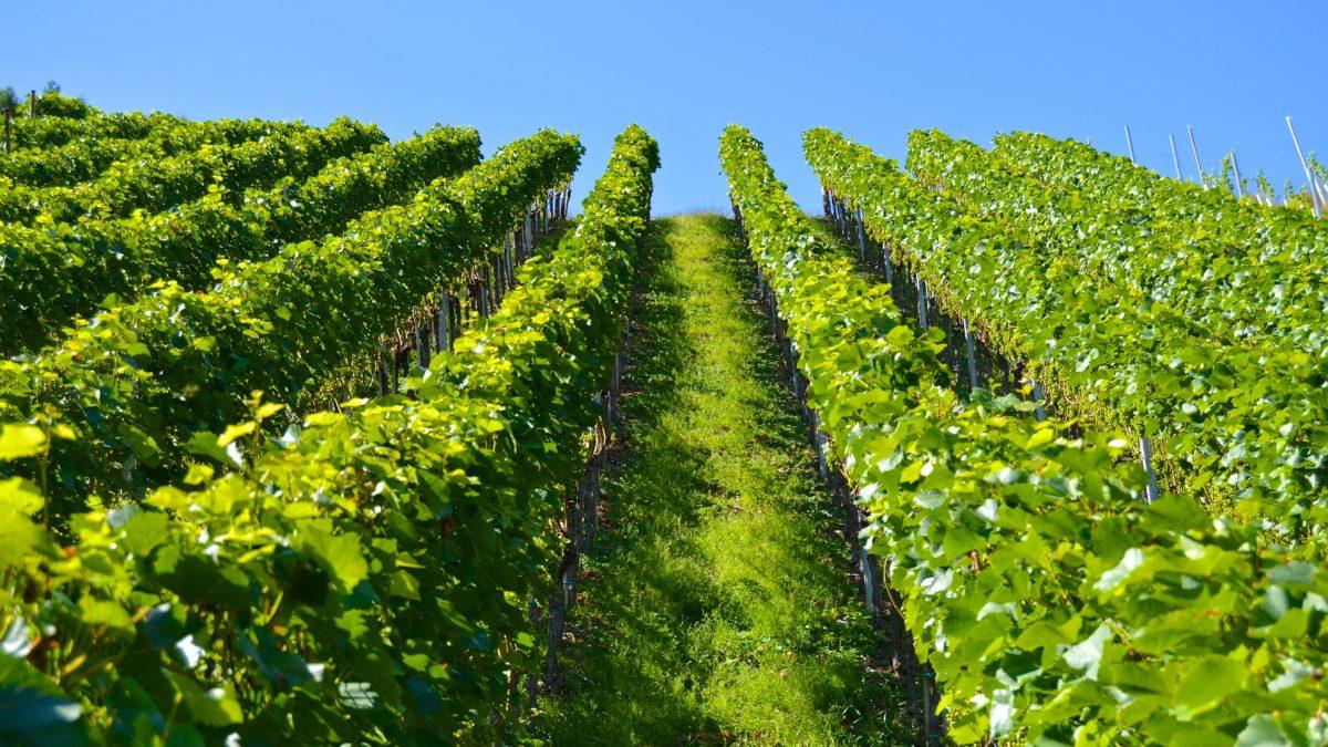 secteur-agricole-viticulture-ge-loire-et-sevre
