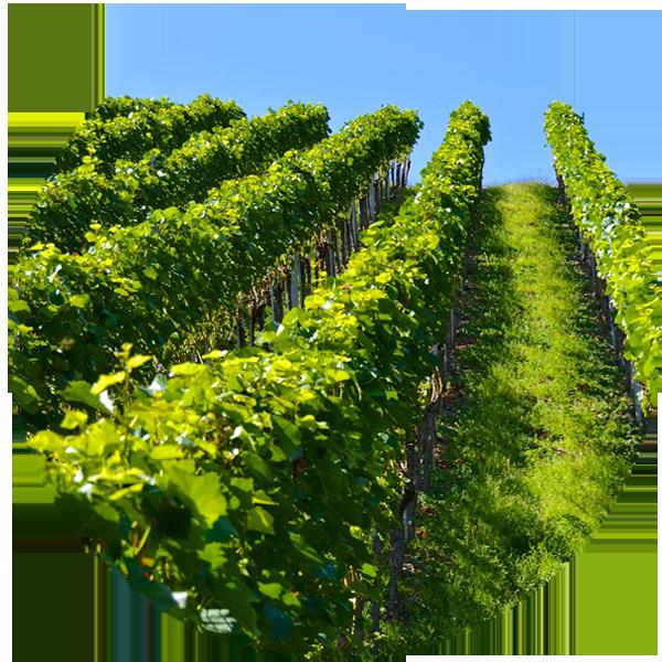 viticuture-quand-lieu-periode